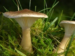 Club Foot (Clitocybe clavipes)